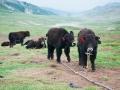 little yaks in the Ganden to Samye Trek route