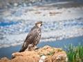 tibet wild bird