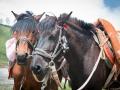 Tibetan horses