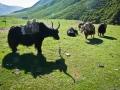 Amdo yak settle