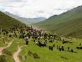 mt. Amnye Machen trek and yaks