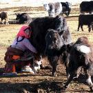 milking_yak