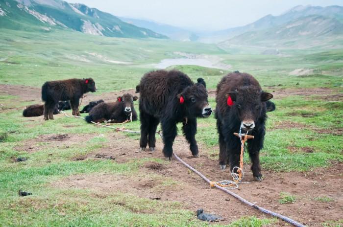 newborn yaks