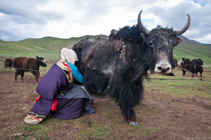 one Tibetan girl milking a yak