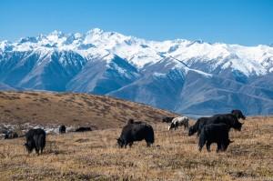 grazing yaks near Ganze