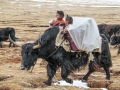 two-nomads-kids-in-baskets-on-the-yak-in-amdo-tibet