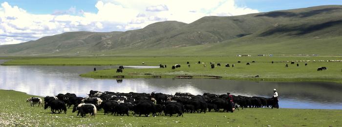 Tibetan Nomads herding yaks