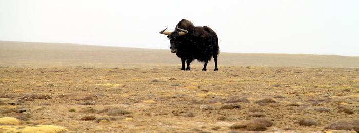 Wild Yak in Tibetan Plateau