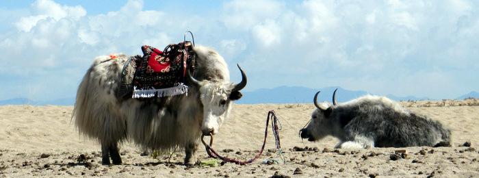 A white yak at Namtso Lake in Lhasa