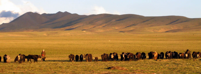 Yak herding in Amdo