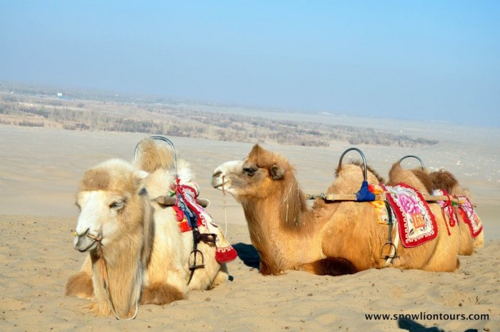 camels on silk road tour