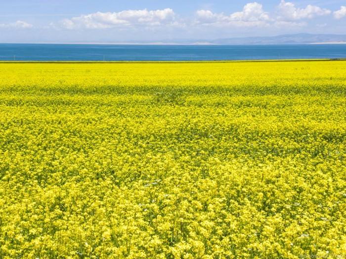 Qinghai Lake Rape seeds field