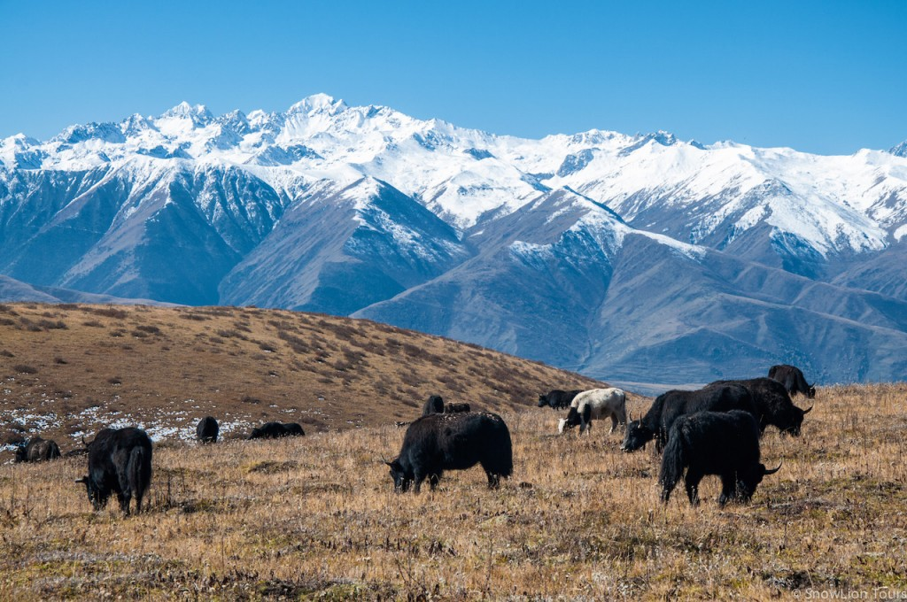 grazing yaks near Ganze